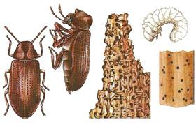Мебелен дървояд