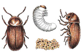 Хлебен бръмбар