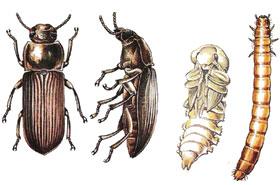Жълт брашнян бръмбар